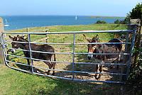 Donkeys on Sketrick Island, Whiterock, Killinchy, Co Down,  view over Strangford Lough, N Ireland, UK. 201107300141.  Copyright Image from Victor Patterson, 54 Dorchester Park, Belfast, United Kingdom, UK...f Use go to http://www.victorpatterson.com/Victor_Patterson/Terms_%26_Conditions.html