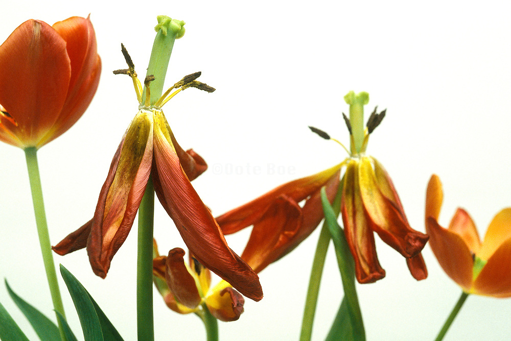 Still life of live and dying tulips