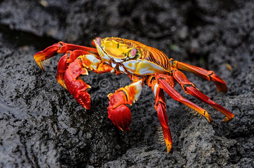 Sally Lightfoot crab (Grapsus grapsus) from Fernandina, Galapagos, Ecuador.