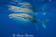 whale shark ( Rhincodon typus ) and snorkelers, Kona Coast of Hawaii Island ( the Big Island ) Hawaiian Islands, USA ( Central Pacific Ocean ) MR 357, 358