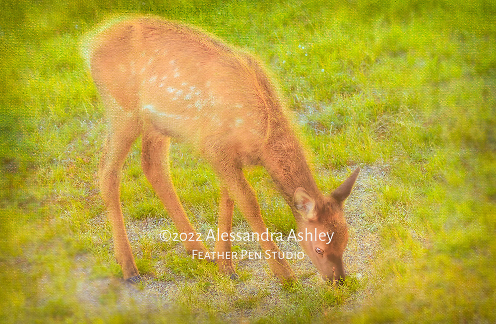 Young elk fawn (calf) grazing at sunset at National Bison Range, Polson, Montana. Canvas texture and painted effects blended with original photo.