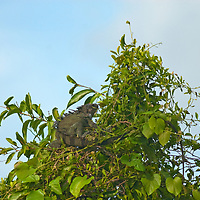 A Green Iguana (Iguana iguana) rests in a bush in Peru's Amazon Jungle.
