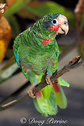 Grand Cayman parrot, <br /> Amazona leucocephala caymanensis, <br /> an endemic subspecies of the Cuban parrot<br /> Grand Cayman, Cayman Islands,