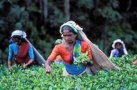 Sri Lanka, Cueillette du thé dans la region de Nuwara Eliya // Tea harvest, Tea collect, Nuwara Eliya, Sri Lanka