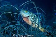 stoplight parrotfish, Sparisoma viride, <br /> initial phase, resting in soft coral<br /> Bahamas ( Atlantic )