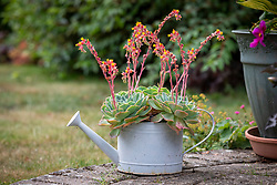 Recycling an old galvanised watering can by using it as a pot for growing Echeveria elegans - Mexican gem