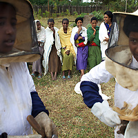"""Wubalem (left) and other women dressed in protective clothing learn about honey production at the Ambrosia beekeeping demonstration and training centre in Mecha.<br /> <br /> Wubalem Shiferaw, age 23, lives in the village of Mecha with her husband Tsega Bekele, age 33, and their daughter Rekebki, age 4. Wubalem remembers her grandparents harvesting honey. She has maintained this tradition while moving to modern hives which produce a far greater yield of honey. Wubalem is a member of the Mecha village Cooperative which brings together local women beekeepers allowing them to share insights and build a credit union. The Mecha village Cooperative is not yet a member of the Zembaba Union. Wubalem's husband Tsega is a priest and a tailor. <br /> <br /> Harvesting honey supplements the income of small farmers in the Ethiopian region of Amhara where there is a long tradition of honey production. However, without the resources to properly invest in production and the continued use of of traditional, low-yielding hives, farmers have not been able to reap proper reward for their labour. <br /> <br /> The formation of the Zembaba Bee Products Development and Marketing Cooperative Union is an attempt to realize the potential of honey production in Amhara and ensure that the benefits reach small producers. <br /> <br /> By providing modern, high-yield hives, protective equipment and training to beekeepers, the Cooperative Union helps increase production and secure a steady supply of honey for which there is growing demand both in and beyond Ethiopia. The collective processing, marketing and distribution of Zembaba's """"Amar"""" honey means that profits stay within the cooperative network of 3,500 beekeepers rather than being passed onto brokers and agents. The Union has signed an agreement with the multinational Ambrosia group to supply honey to the export market. <br /> <br /> Zembaba Bee Products Development and Marketing Cooperative Union also provides credit to individual members """