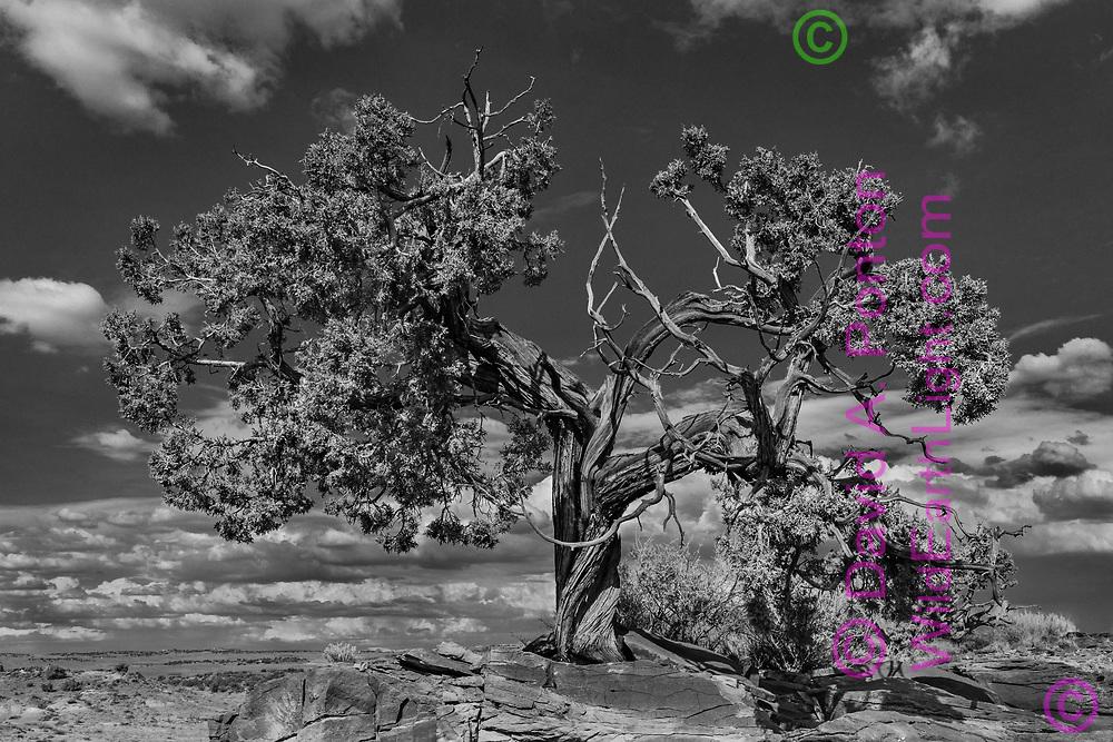 Juniper tree growing on rock ridge, northwestern New Mexico, © David A. Ponton