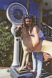 Woman Trying To Weigh Great Dane