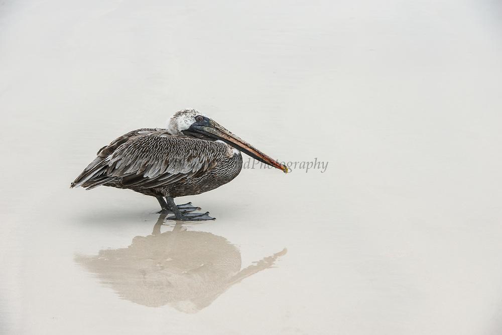 Brown Pelican (Pelecanus occidentalis urinator)<br /> Sante Fe Island<br /> Galapagos<br /> Ecuador,  South America
