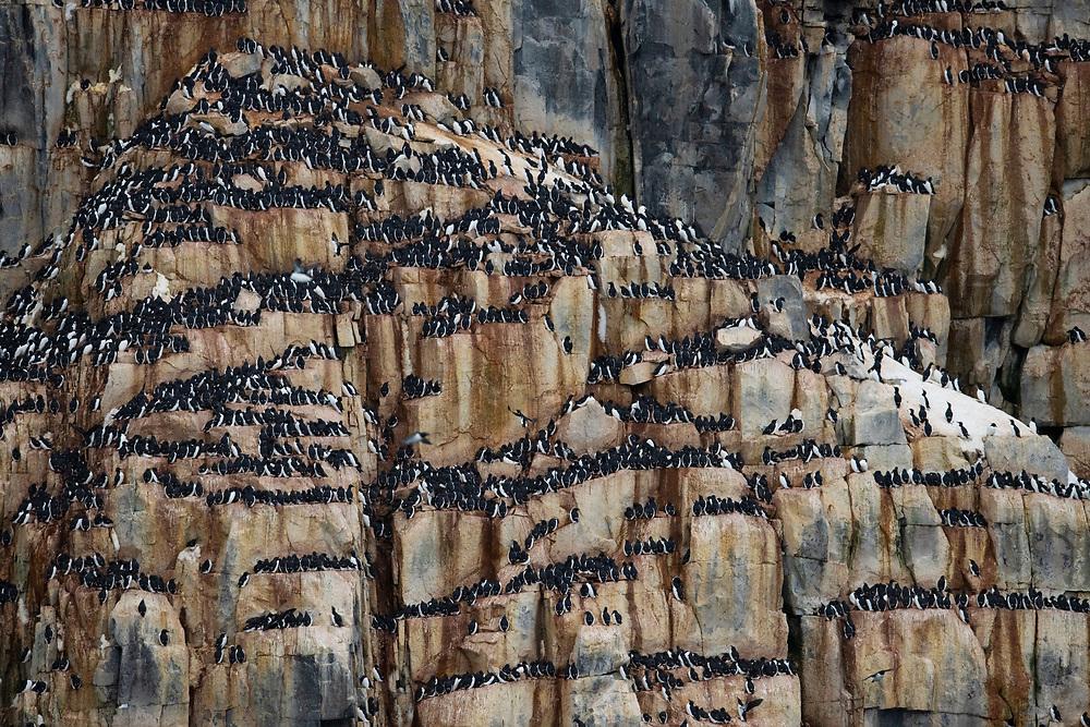 Breeding colony of Brunnich's guillemot, also called Thick-billed Murre, Uria lomvia, Svalbard, Spitzbergen, Arctic Norway