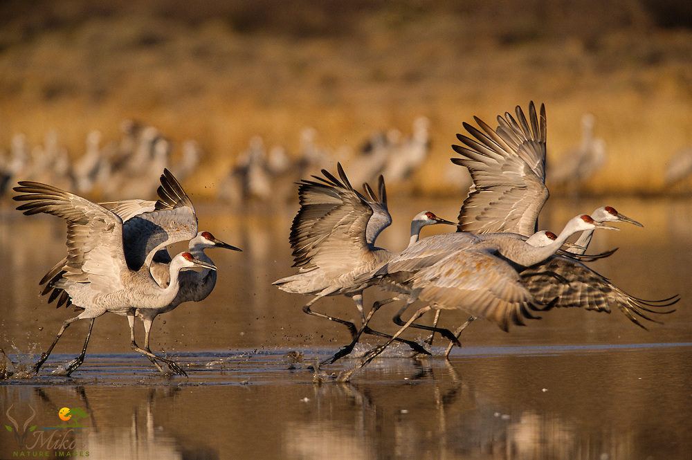 Sandhill cranes about to take flight, Bosque del Apache NWR