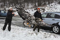 """Rachel Wheat, a graduate student at the University of California Santa Cruz, releases bald eagle (Haliaeetus leucocephalus) """"4P"""" back into the wild. Watching the release is Steve Lewis, Raptor Management Coordinator, U.S. Fish & Wildlife Service, who helped Wheat with the capturing of the bald eagles. Wheat is conducting a bald eagle migration study of eagles that visit the Chilkat River for her doctoral dissertation. She hopes to learn how closely eagles track salmon availability across time and space. The bald eagles are being tracked using solar-powered GPS satellite transmitters (also known as a PTT - platform transmitter terminal) that attach to the backs of the eagles using a lightweight harness. The latest location of this eagle can be found here: http://www.ecologyalaska.com/eagle-tracker/4p/ . During late fall, bald eagles congregate along the Chilkat River to feed on salmon. This gathering of bald eagles in the Alaska Chilkat Bald Eagle Preserve is believed to be one of the largest gatherings of bald eagles in the world."""