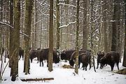 EUROPEAN BISON  Bison bonasus FEEDING ON A WINTER SUPPLEMENT OF HAY IN THE BIALOWIEZA FOREST IN POLAND