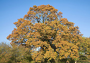Quercus robur oak tree autmun leaf colours  with blue sky, Sutton, Suffolk, England