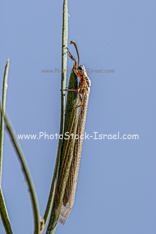 Antlion on a plant. Antlions (family Myrmeleontidae) are flying insects that belong to the same family as lacewings. Their larvae are voracious predators of ants. Photographed in Israel in August