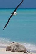 Laysan Albatross, Phoebastria immutabilis, flies over a sleeping Hawaiian monk seal, Monachus schauinslandi, Critically Endangered endemic species, Sand Island, Midway, Atoll, Midway Atoll National Wildlife Refuge, Papahanaumokuakea Marine National Monument, Northwest Hawaiian Islands ( Central North Pacific Ocean )