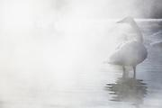 Japanese Whooper swan (Cygnus cygnus) standing in fog, Lake Kussharo, Hokkaido, Japan