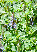 Blue Lobster flower Plectranthus neochilus (lobster bush, fly bush, or mosquito bush) is a perennial ground cover with highly fragrant, partially scalloped, ovate leaves. Flowers are purple blue inflorescent spikes