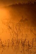 Great Egret at Dawn, Tule Lake National Wildlife Refuge, California
