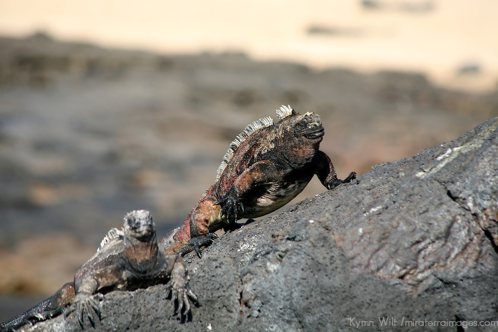 South America, Ecuador, Galapagos Islands, Santiago Island, James Island, Port Egas. A pair of Marine Iguanas pose on a rock.