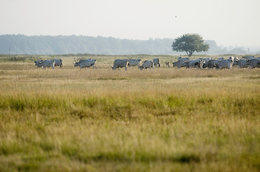 Hungarian Grey Cattle (Bos primigenius taurus hungaricus) at Hortobagy National Park, Hungary