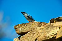 Mountain Bluebird (Sialia currucoides), Sand Wash Basin,  , Colorado, USA   Photo: Peter Llewellyn