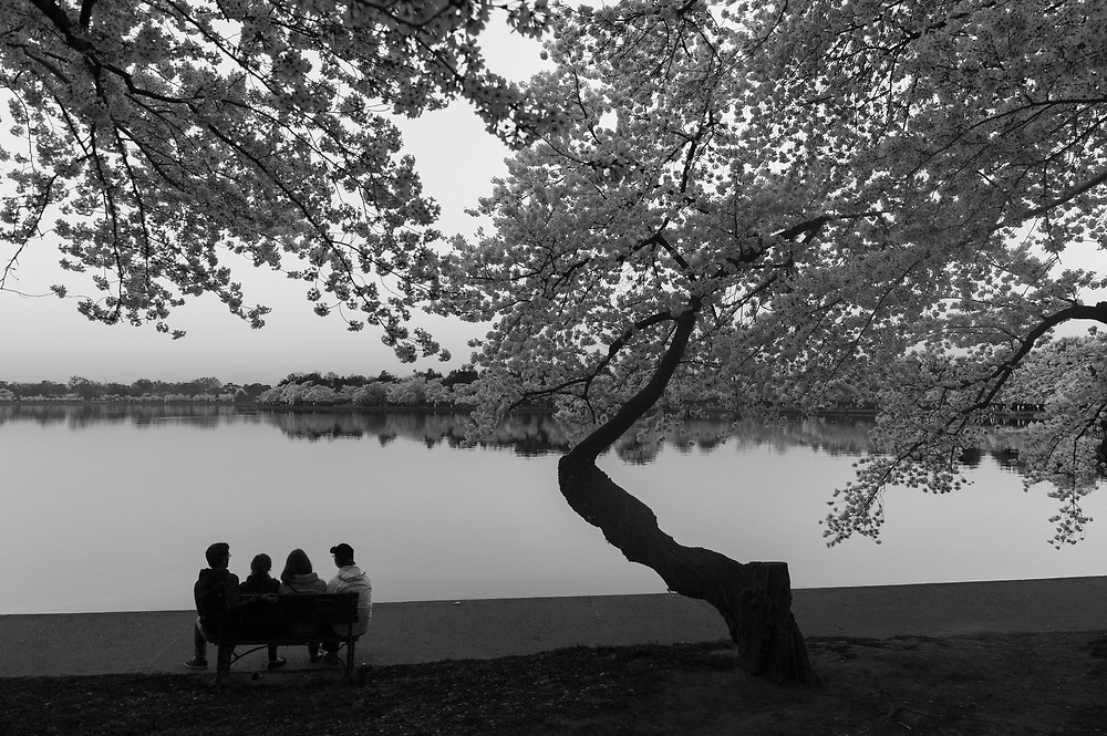 A group of friends gaze over Tidal Basin beneath a grove of cherry blossoms on the morning of Monday, April 13, 2015 in Washington, D.C.
