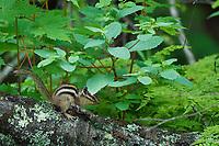 Siberian Chipmunk, Tamias sibiricus, Wu Ying District Nature Reserve, near Yichun city, Heilongjiang Province, China