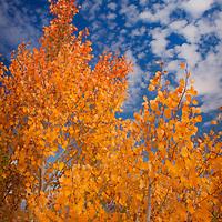 Orange aspen leaves and altocumulus clouds in autumn, Mono County, California.