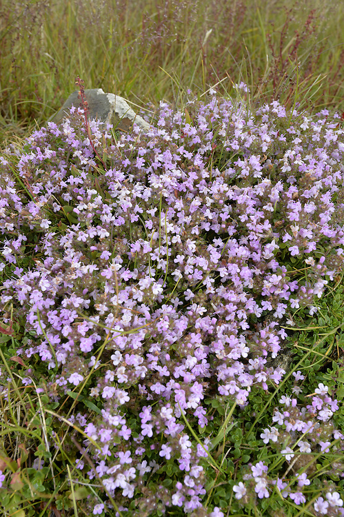 Wild Thyme - Thymus polytrichus (Lamiaceae) Height to 5cm<br /> Creeping and mat-forming perennial with slender, woody runners. The whole plant is faintly aromatic, smelling of culinary thyme. Grows on dry grassland and heaths, and coastal cliffs and dunes. FLOWERS are 3-4mm long and pinkish purple; borne in dense, terminal heads with dark, purplish calyx tubes, on 4-angled stems that are hairy on 2 opposite sides (Jun-Sep). FRUITS are nutlets. LEAVES are ovate, short-stalked and borne in opposite pairs. STATUS-Widespread and common throughout the region.