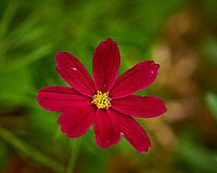 Red Cosmos Wildflower. Image taken with a Nikon D850 camera and 105 mm f/2.8 VR macro lens