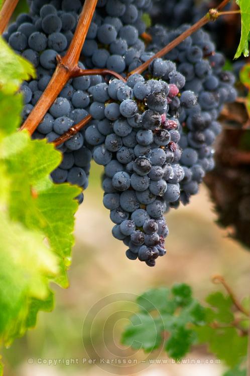 Bunches of ripe grapes. Cabernet Sauvignon. Chateau Kirwan, Margaux, Medoc, Bordeaux, France