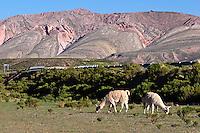 LLAMAS (Lama glama) PASTANDO, ESPINAZO DEL DIABLO, TRES CRUCES, QUEBRADA DE HUMAHUACA, PROV. DE JUJUY, ARGENTINA
