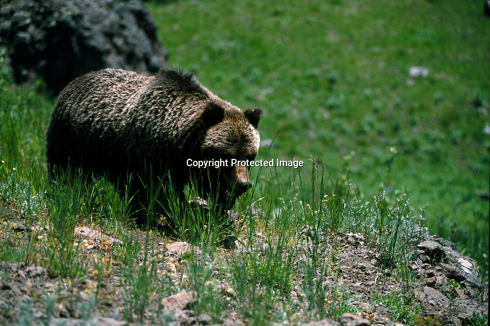 A large grizzly bear in Yellowstone National Park along the East Entrance Road.As the grizzly population recovers the bears are expanding back into their old habitat outside the park. Yellowstone Grizzlies may be delisted from the endangered species list in 2005.