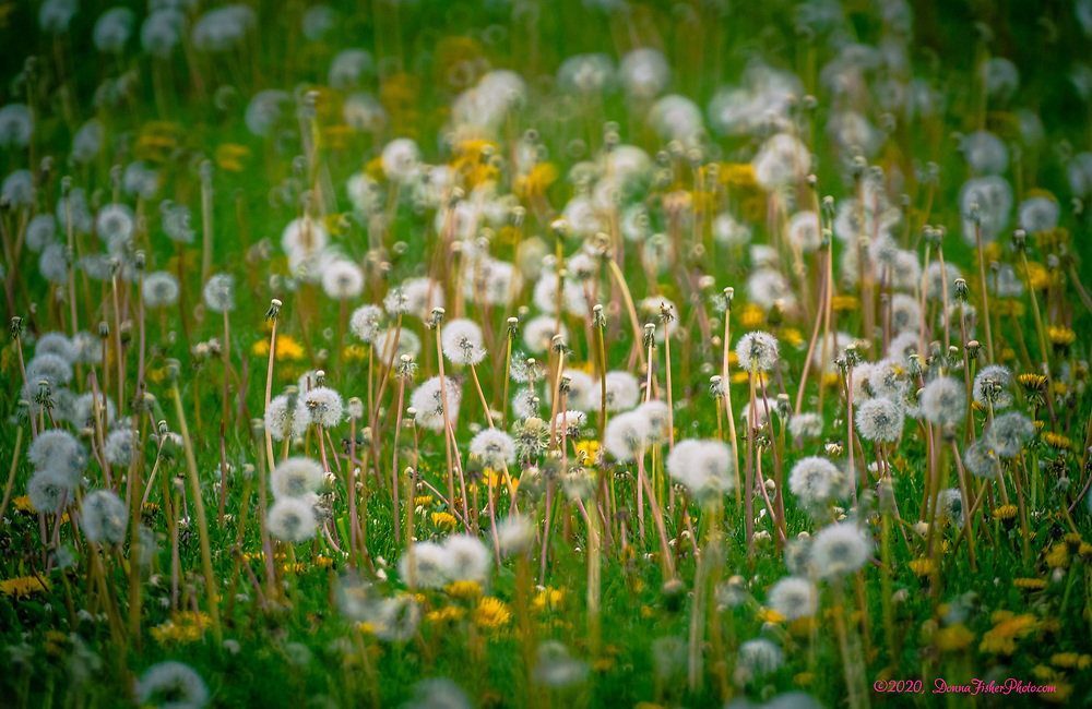 Dandelions - loved or hated, weeds or beautiful gift, have taken over fields in Whitehall Township, Lehigh County, Pennsylvania in May, 2020. This field is west of MacArthur Road.<br /> - Photography by Donna Fisher<br /> - ©2020 - Donna Fisher Photography, LLC                      - donnafisherphoto.com