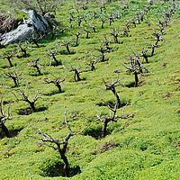 Crete, Greece.  Vinyards grow in foothills.