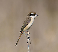 Brown Shrike - Lanius cristatus