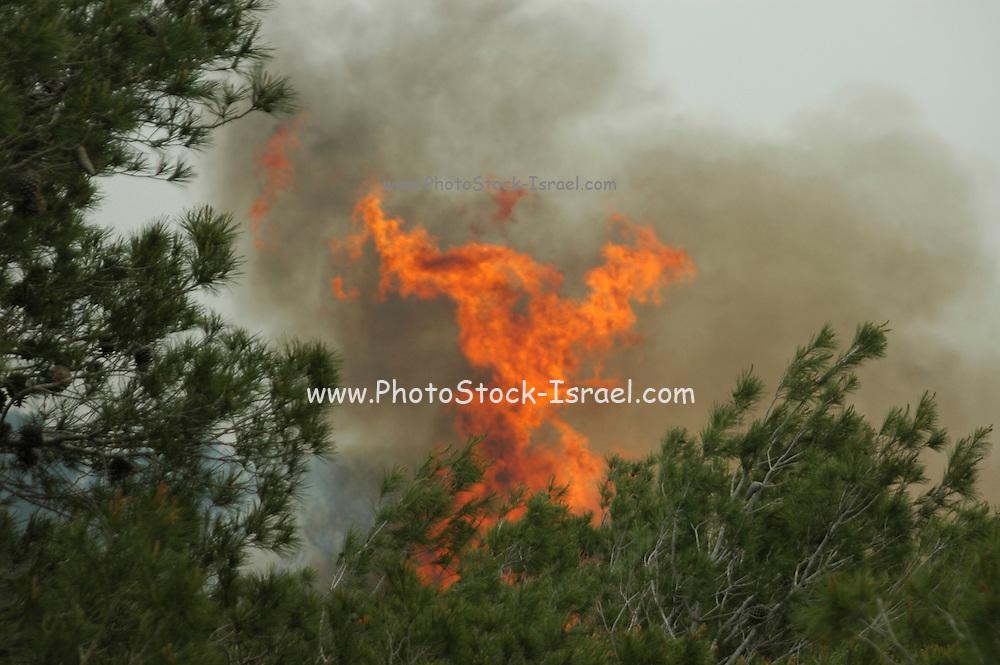Israel, Haifa Carmel Mountain Forest, blazing flames at a wildfire