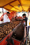 Potato Harvesting sorting the crop on a  conveyer belt