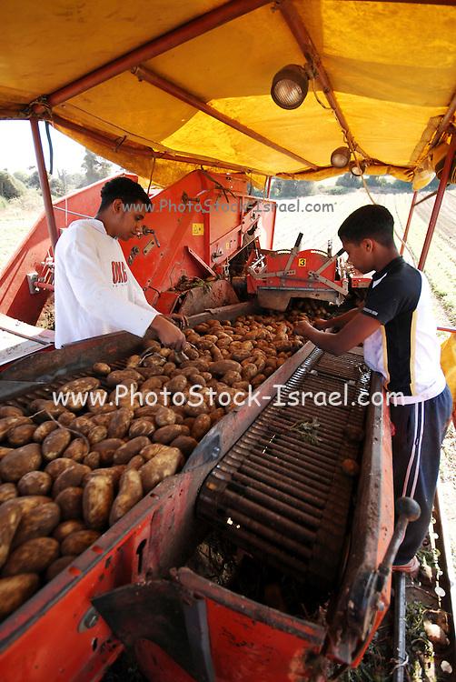 Potato Harvesting sorting the crop on a  conveyer belt