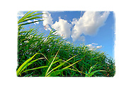 Marshland grass and reeds blowing on windy day, closeup on beautiful day with blue sky and white clouds, at Levy Park and Preserve, Merrick, New York, USA
