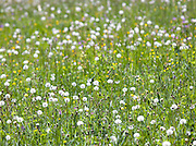 Dandelions in a field in the Jura region, France