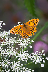 Male Silver washed fritillary butterfly - Argynnis paphia
