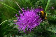 Buff-tailed bumblebee or large earth bumblebee (Bombus terrestris); Amöneburg, Hessen, Germany | Dunkle Erdhummel (Bombus terrestris); Amöneburg, Hessen, Deutschland