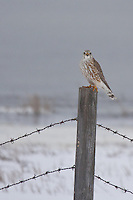 Although Merlin's are considered to be year round residents of the Calgary area (just barely), I haven't seen one all winter.  I was very excited when I saw the distinct shape of the bird as it flew by, and then when it actually landed on a nearby post I was ecstatic!...<br /> <br /> ©2009, Sean Phillips.http://www.Sean-Phillips.com
