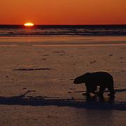 Polar bear walking on frozen Hudson Bay, Canada.