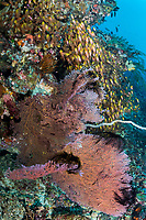 Sea Fan and Golden Sweeper on a reef wall<br /> <br /> Shot in Indonesia