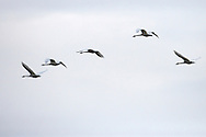 Trumpeter Swans (Cygnus buccinator) fly overhead at Fir Island in the Skagit River Delta, WA, USA,