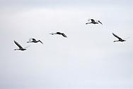 Trumpeter Swans (Cygnus buccinator) fly overhead at Fir Island in the Skagit River Delta, WA, USA,